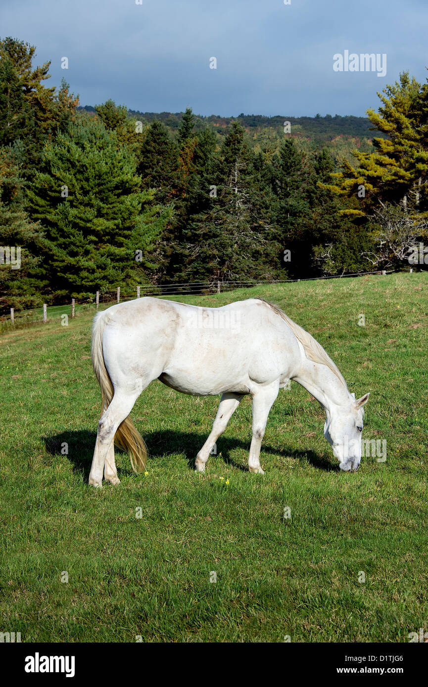Horse grazing on a hilly pasture - Stock Image