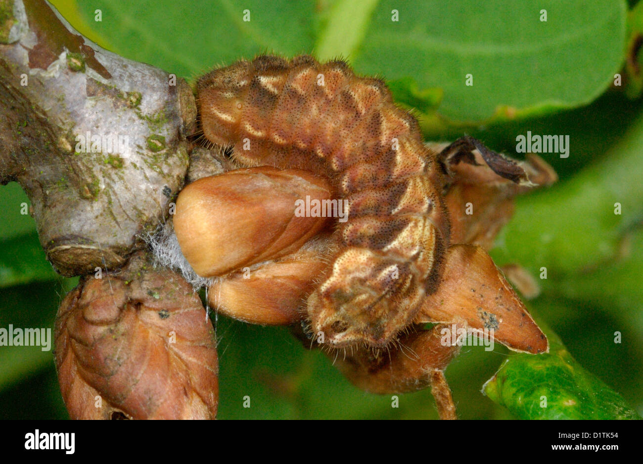 Purple Hairstreak caterpillar (Neozephyrus quercus) camouflaged as an oak bud - Stock Image