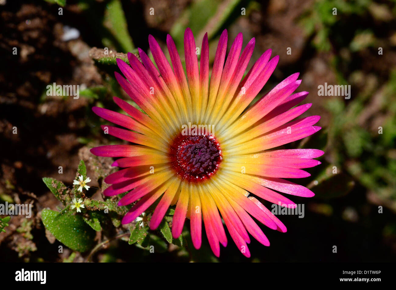 Macro picture of South African flowers and insects. Stunning purple and yellow Bokbaai vygie; annual succulent from - Stock Image