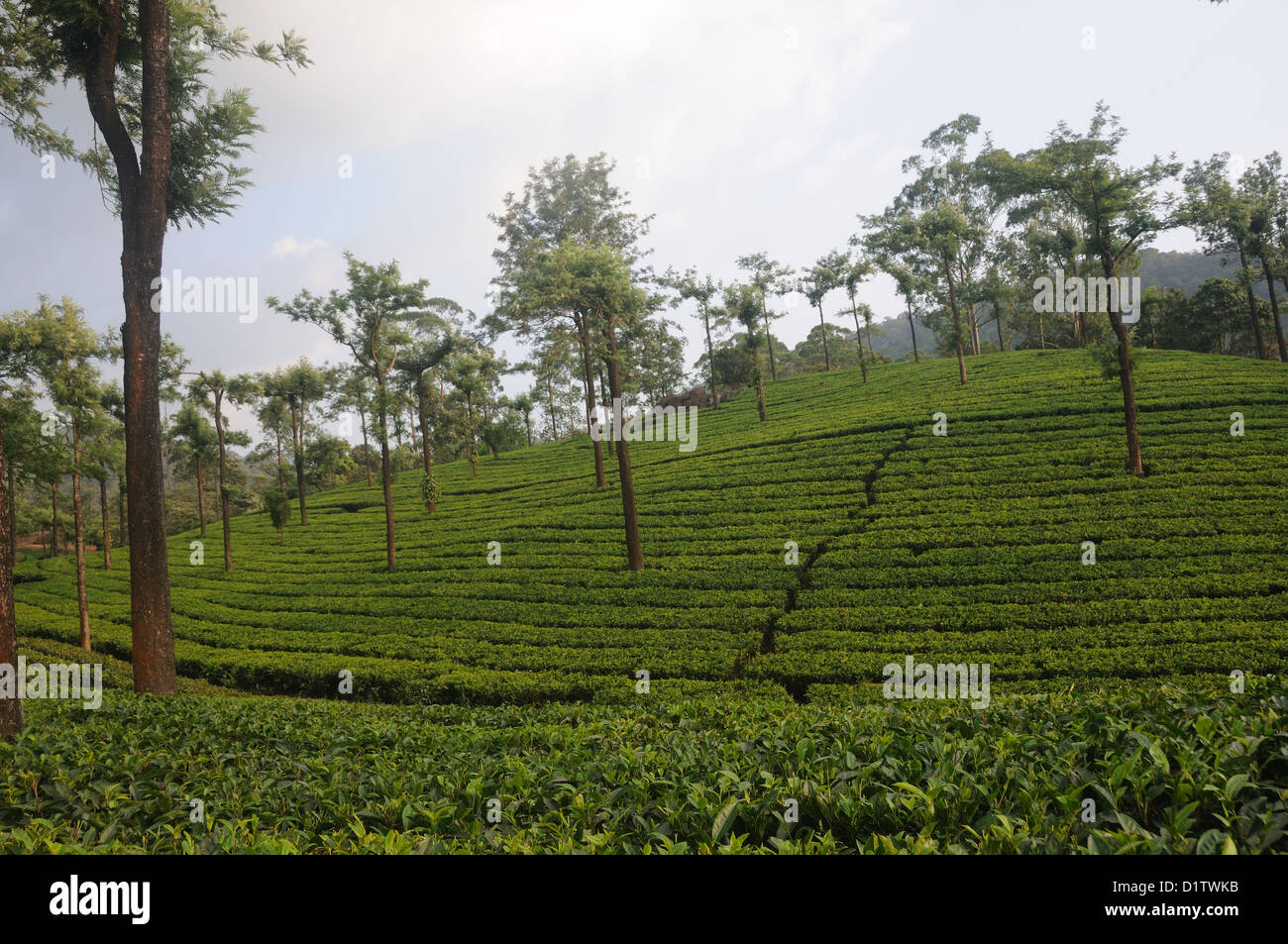 Tea Gardens at Munnar Munnar is a hill station on the Western Ghats, a range of mountains situated in the Idukki - Stock Image