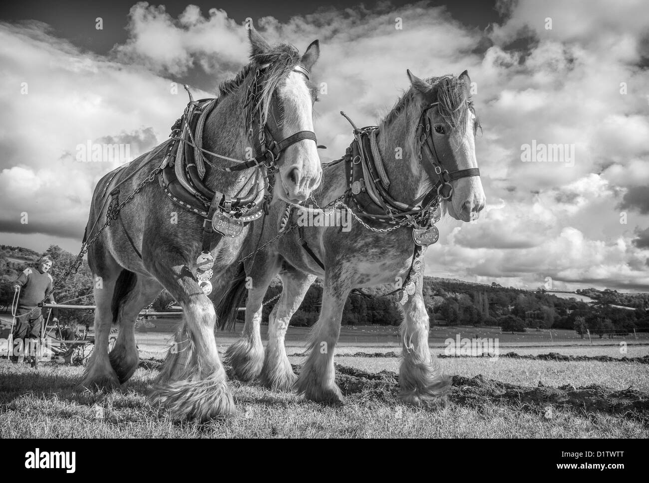A pair of shire horses ploughing at Singleton Weald and Downland open air museum, West Sussex. UK - Stock Image
