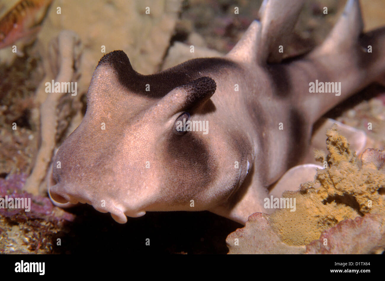 Crested Hornshark (Heterodontus galeatus) outside Sydney Harbour - Stock Image