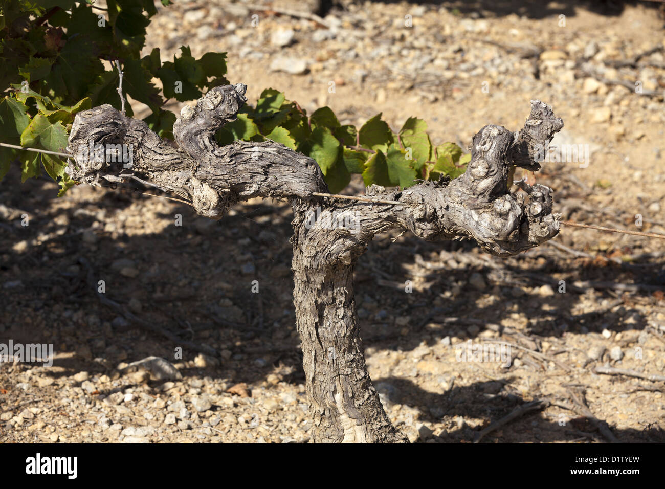 Old vine in a vineyard St. Martin in south france, Gruissan - Stock Image