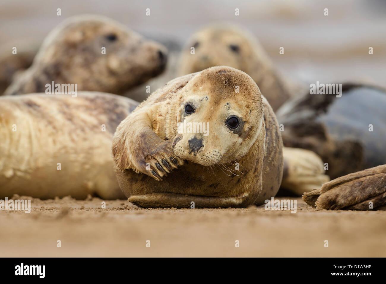 Grey Seal (Halichoerus grypus) - UK Stock Photo