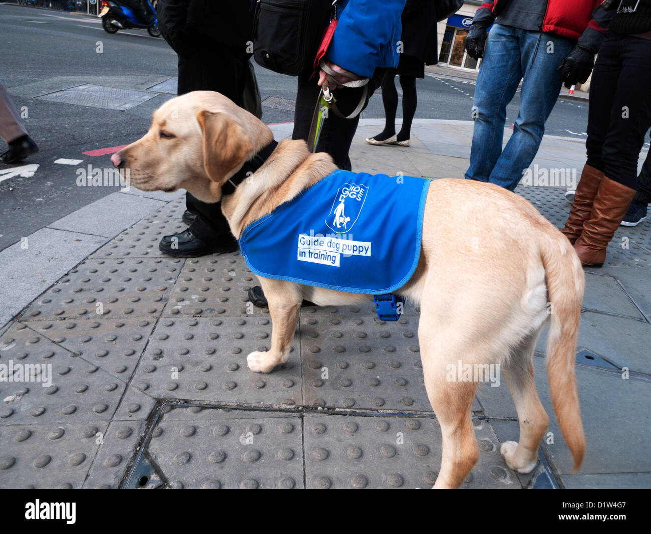 Guide dog puppy seeing eye dogs in training with people standing on