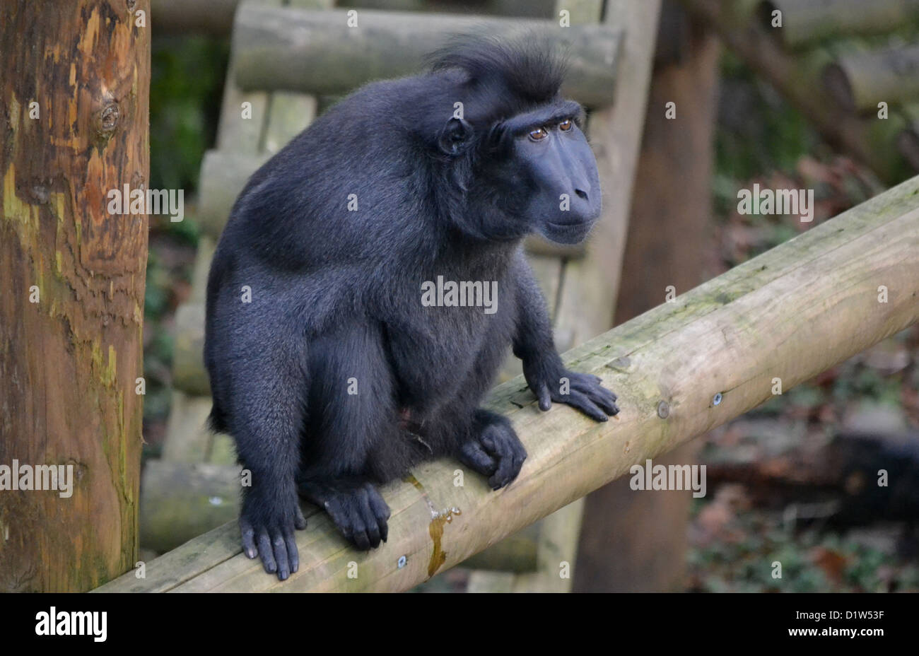 Celebes Crested Black Macaque - Stock Image