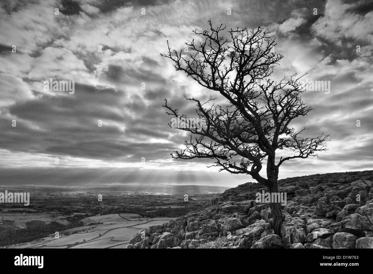 Black and white landscape image of a lone hawthorn tree on Twistleton Scars near Ingleborough in the Yorkshire Dales. - Stock Image