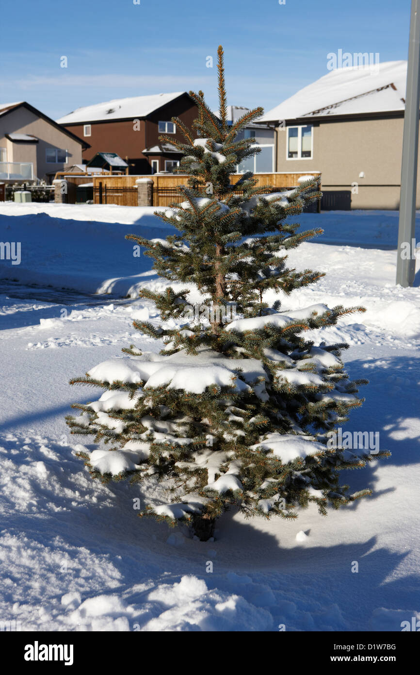 small conifer evergreen tree covered in snow in the garden of a house in Saskatoon Saskatchewan Canada Stock Photo