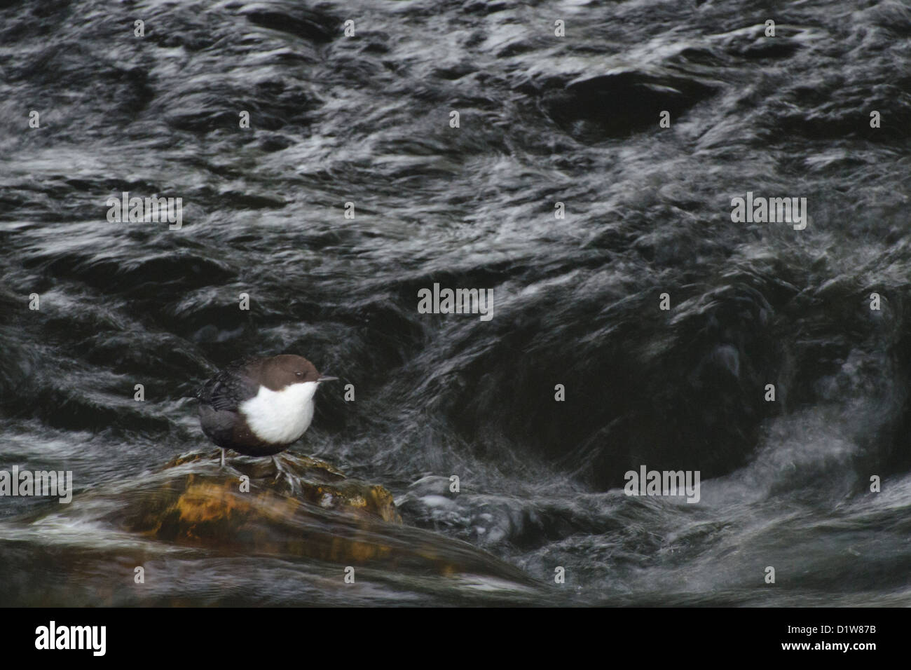 Black bellied dipper, thetford - Stock Image
