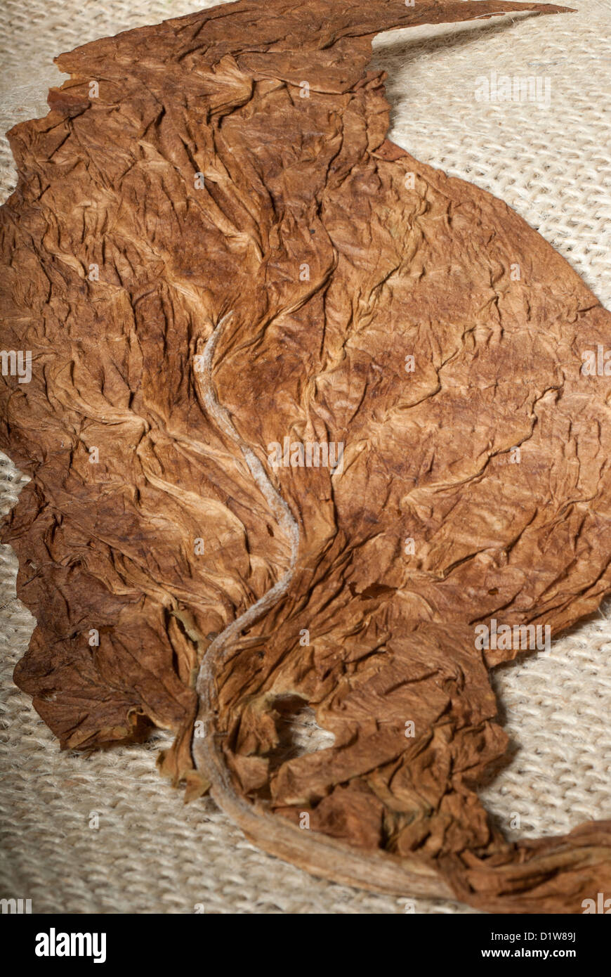 Process of drying a nicotine leaf on a cloth - Stock Image