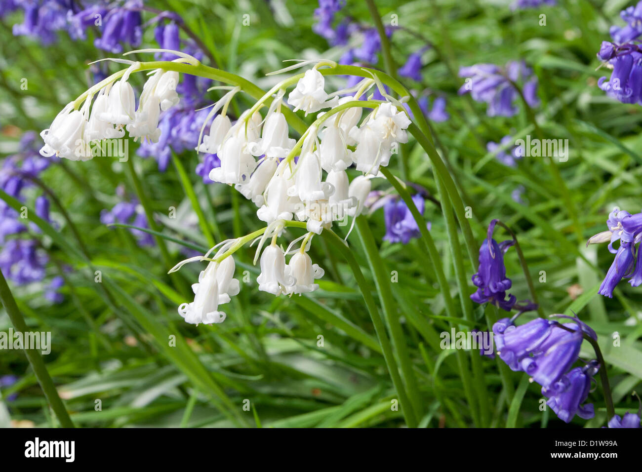 White bluebells stock photos white bluebells stock images alamy blue and white bluebells flowering in may near scarborough north yorkshire england mightylinksfo