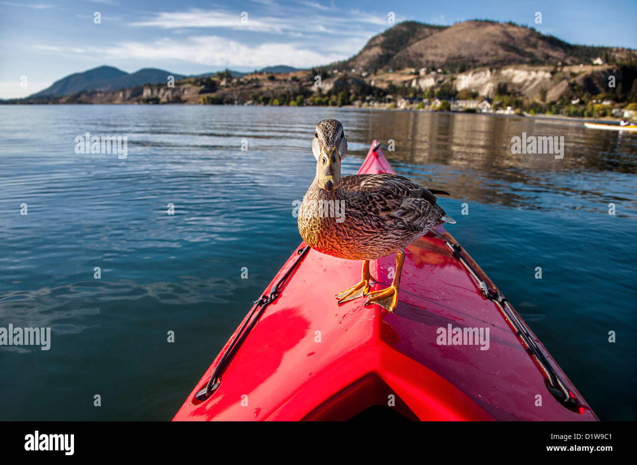 Outdoor photo of a duck standing on the bow of a red kayak on a lake - Stock Image