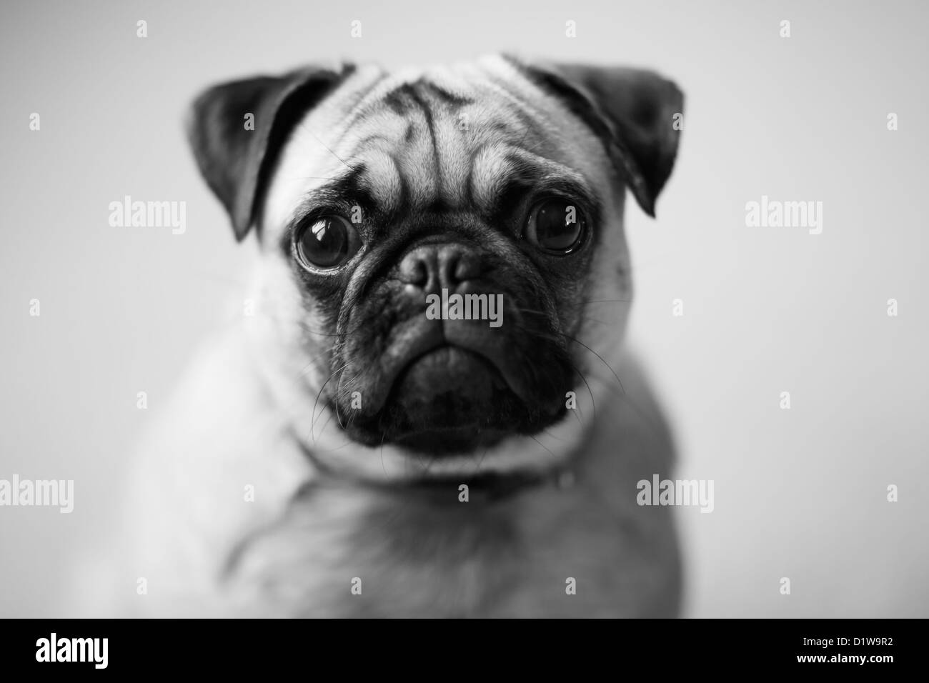 The eyes of a pet puppy pug dog sitting next to the window. - Stock Image