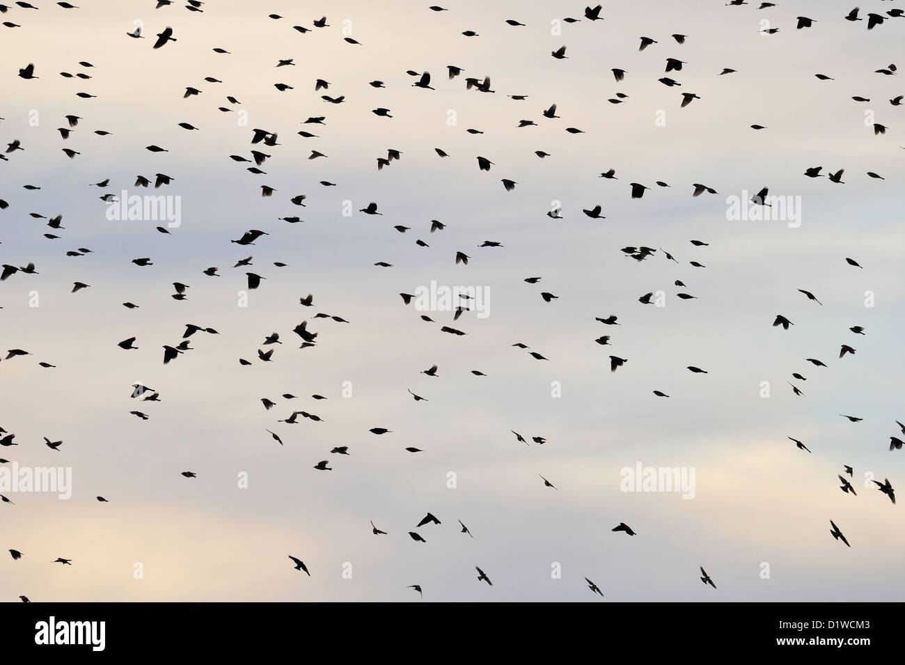 A flock of songbirds (red-wing blackbirds) in flight, Bosque del Apache NWR, New Mexico, USA - Stock Image