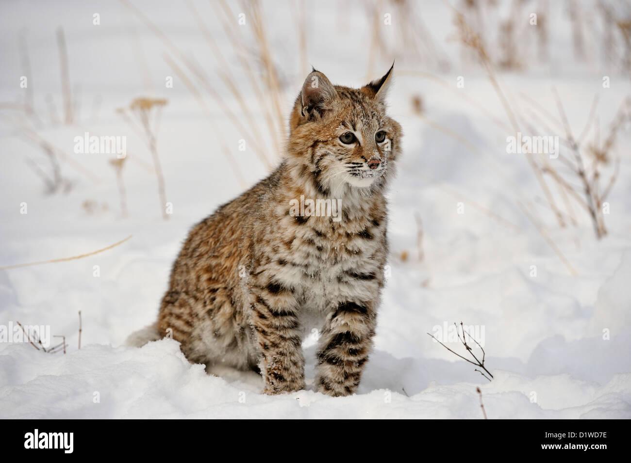 Bobcat (Lynx rufus) Kitten first winter, Bozeman, Montana, USA - Stock Image