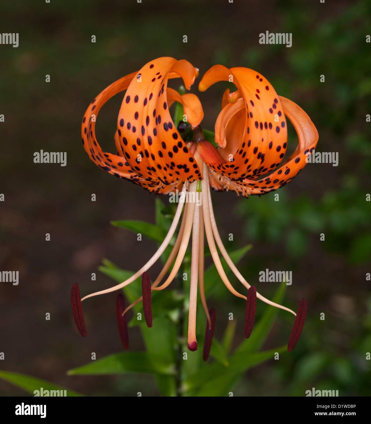 Spectacular bright orange flower with black spots - Tiger Lily - Lilium tigrinum - against a dark background Stock Photo