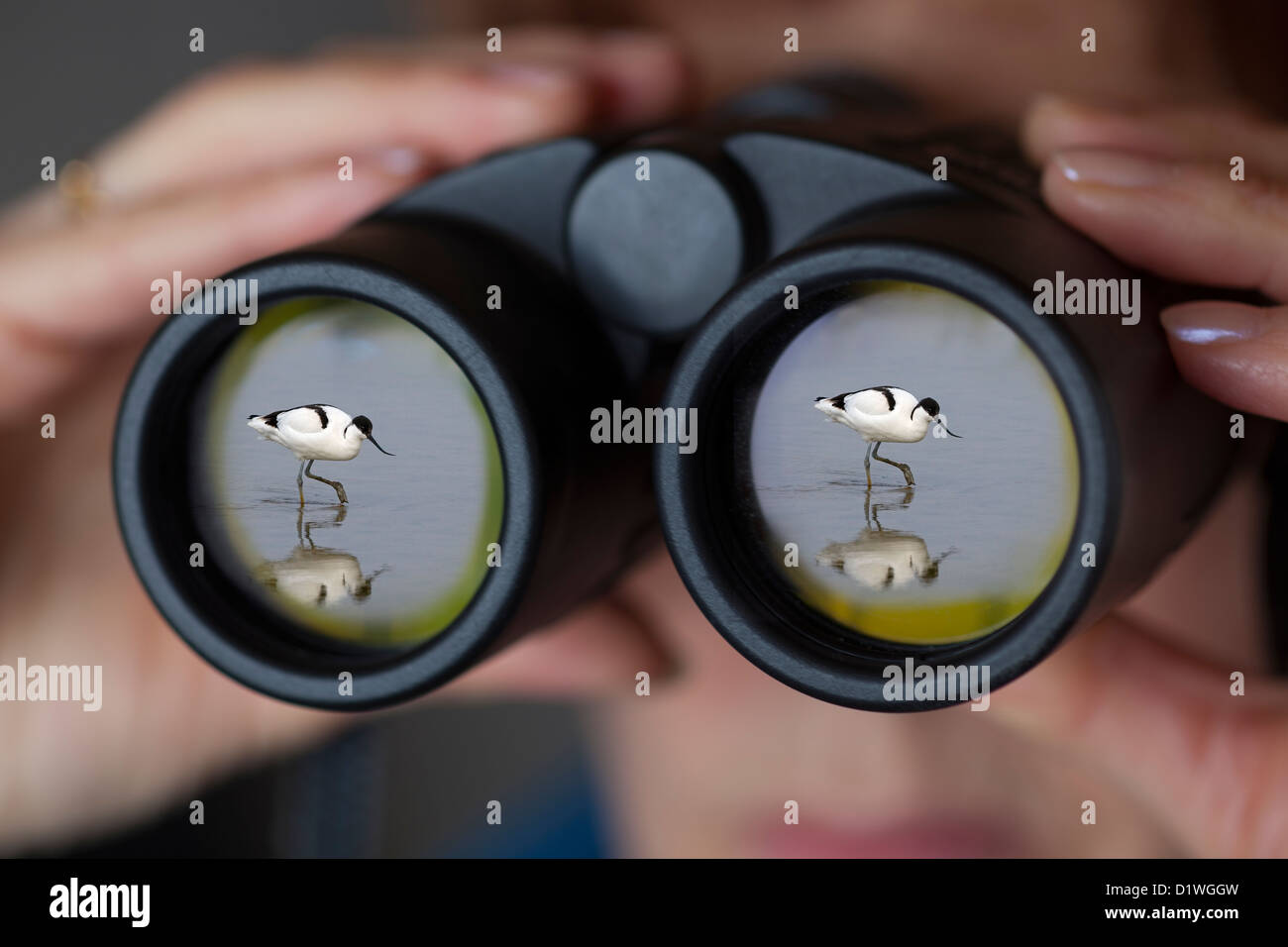 Binoculars being used by female birdwatcher avocet reflected in front optic - Stock Image