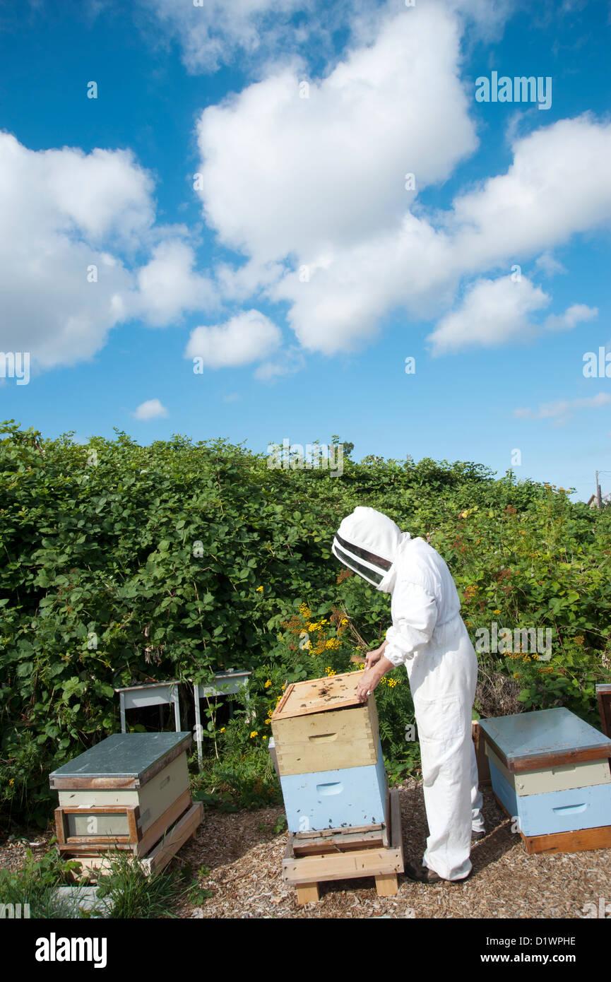 Beekeeper tending to bee hives - Stock Image