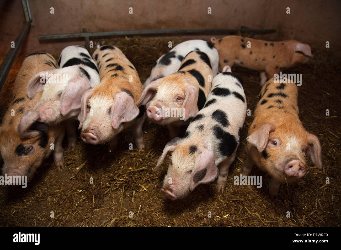 Oxford sandy and black piglets in weening pens - Stock Image
