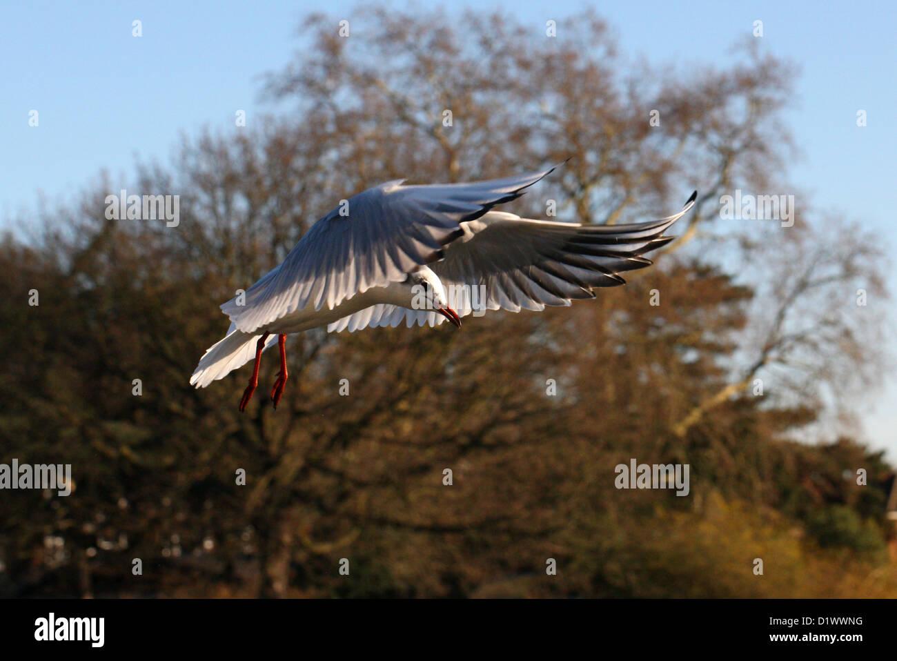 Black-headed Gull, Chroicocephalus ridibundus, Laridae Flying - Stock Image