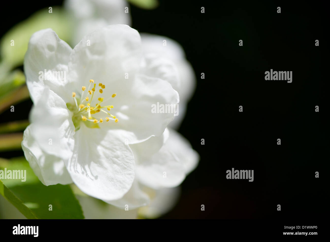 Close up of a beautiful white Cherry blossom. Stock Photo