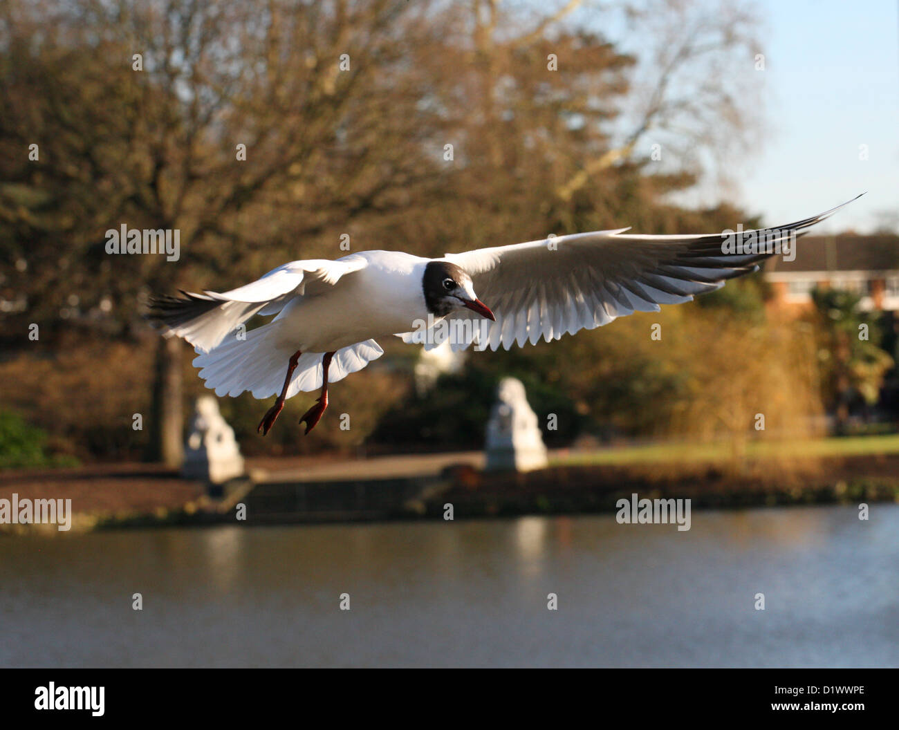 Black-headed Gull, Chroicocephalus ridibundus, Laridae Flying Stock Photo