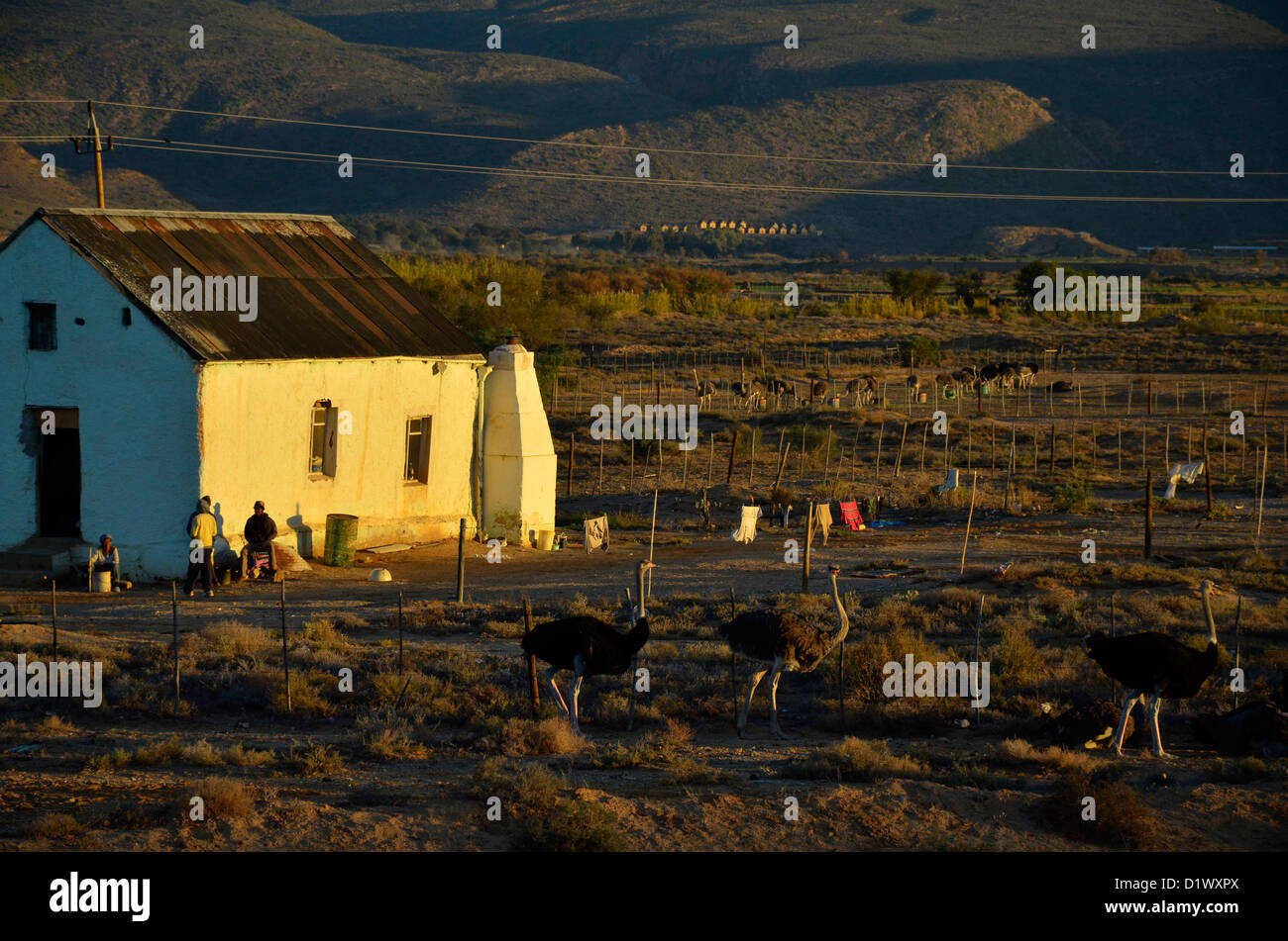 Farm labourers' cottage in the Klein Karoo with ostriches in foreground. Near Oudtshoorn, South Africa - Stock Image