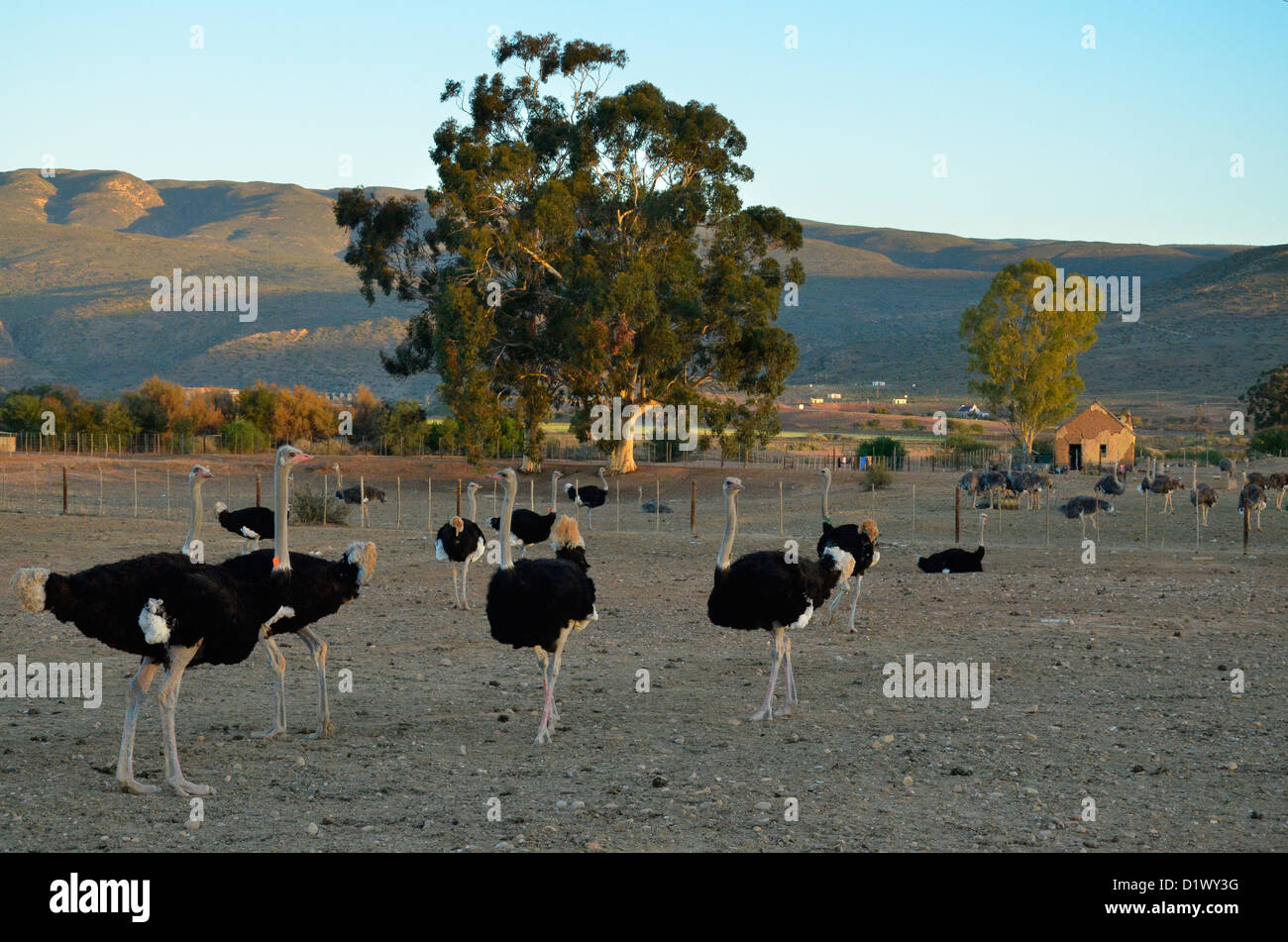 Male ostriches in black plumage on ostrich farm near Calitzdorp, Klein Karoo, South Africa - Stock Image
