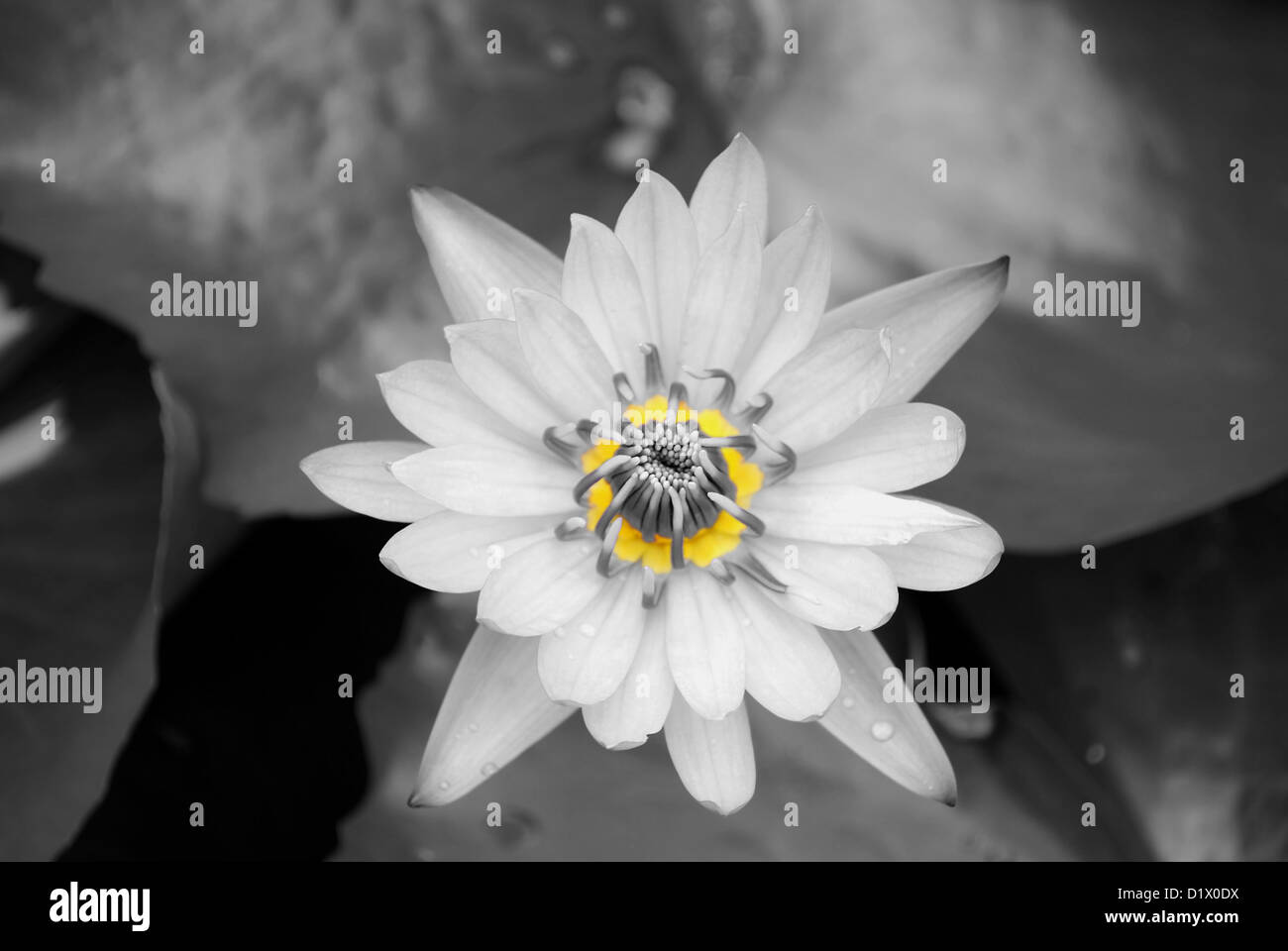 Water Lily Flower Latin Name Nymphaea Colorata Stock Photo 52816902
