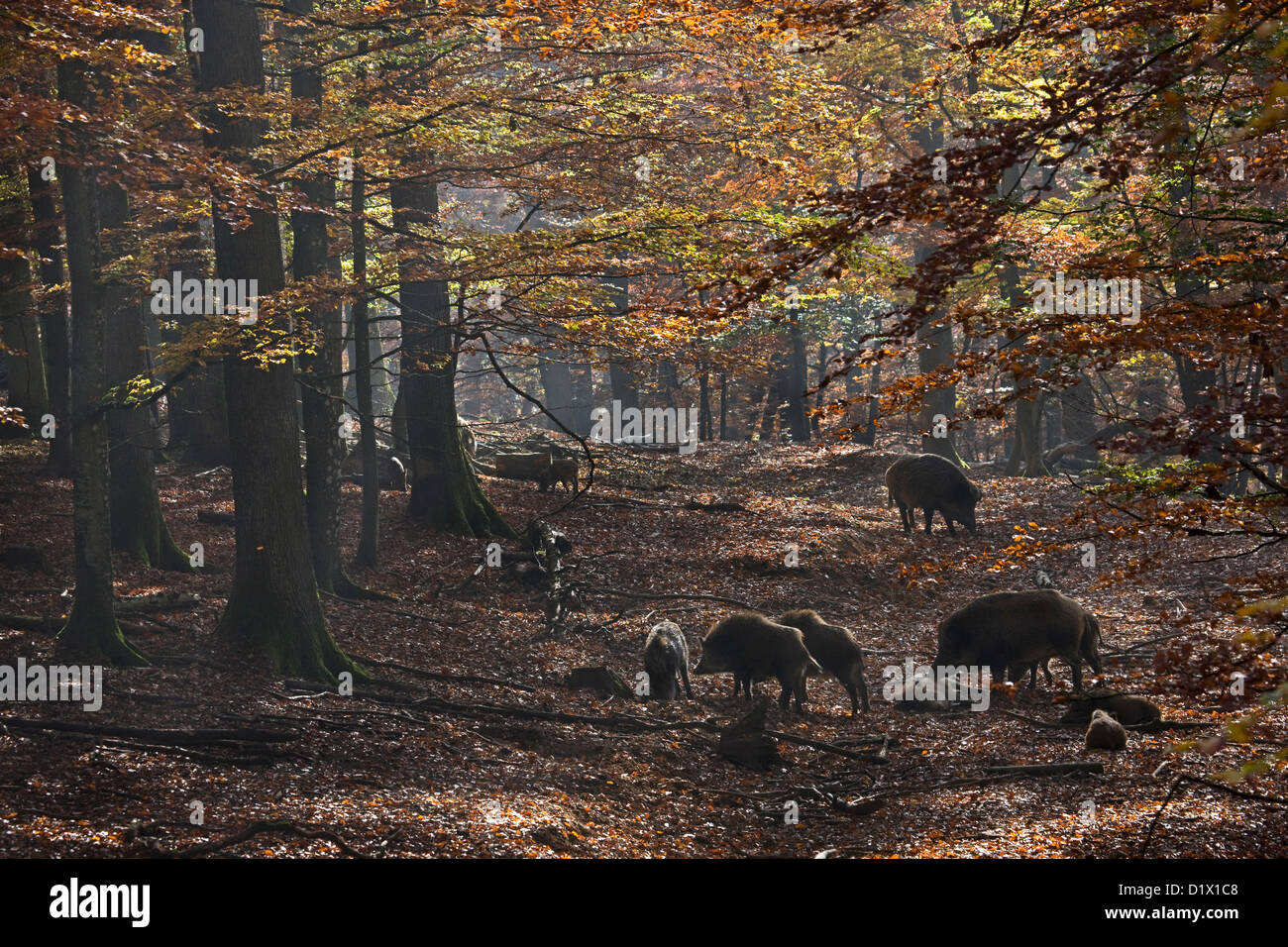 Sounder of wild boars (Sus scrofa) foraging in autumn forest in the Belgian Ardennes, Belgium - Stock Image