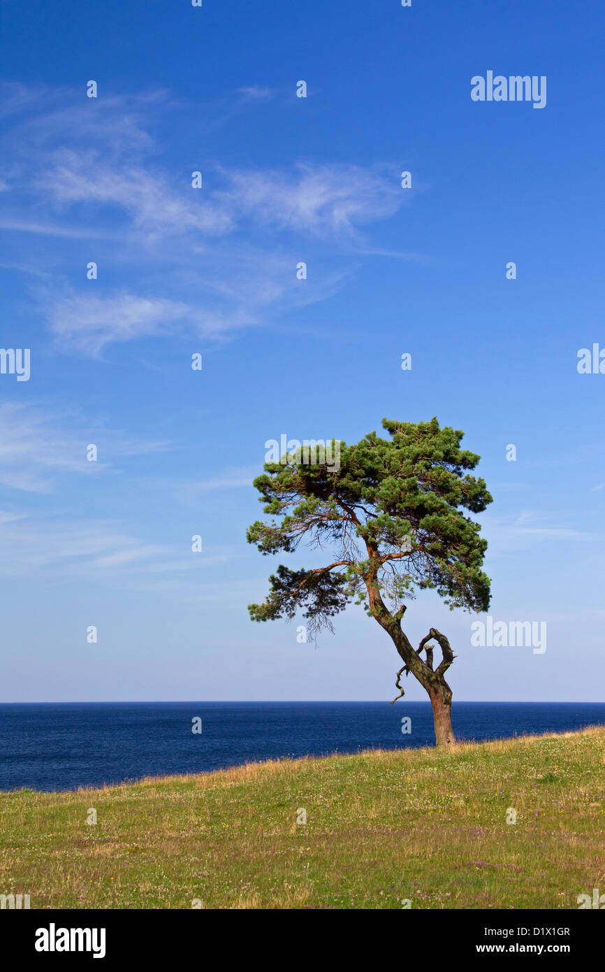 Scots Pine / Norway Pine (Pinus sylvestris), solitary tree near the sea at Haväng, Skåne, Sweden, Scandinavia Stock Photo