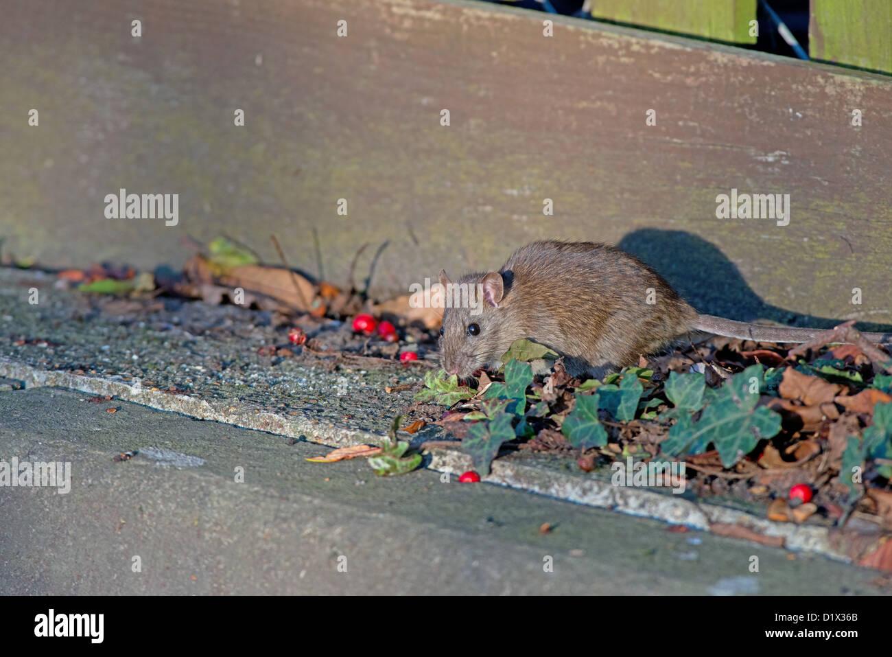 BROWN RAT, Rattus norvegicus FEEDING. UK - Stock Image