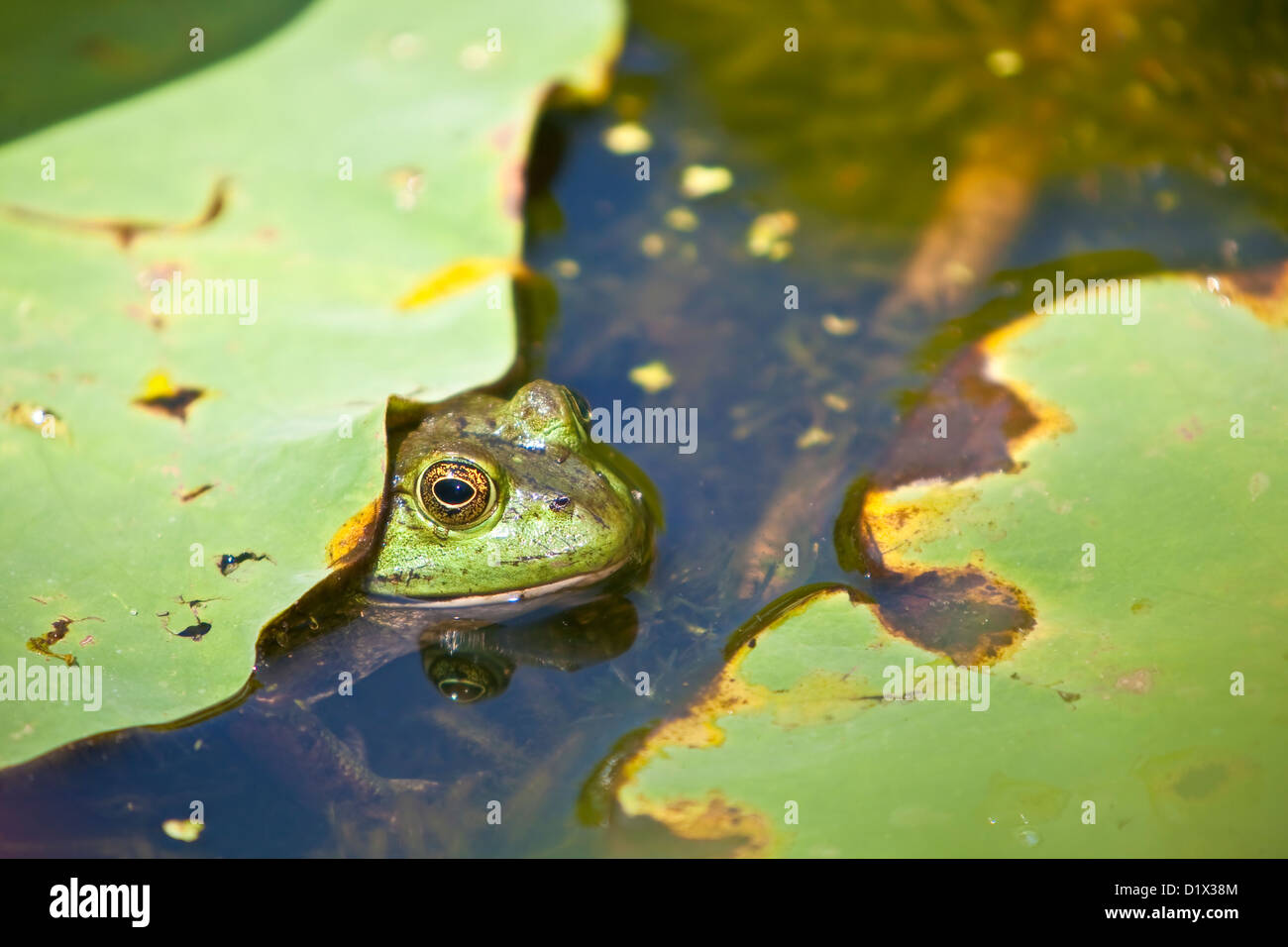 frog in pond with lily pads - Stock Image