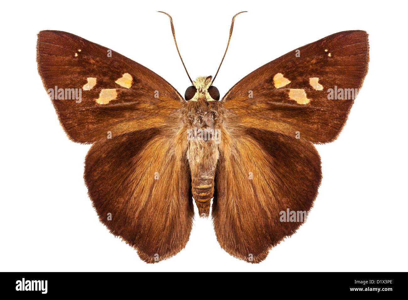 Hesperiidae small butterfly Stock Photo