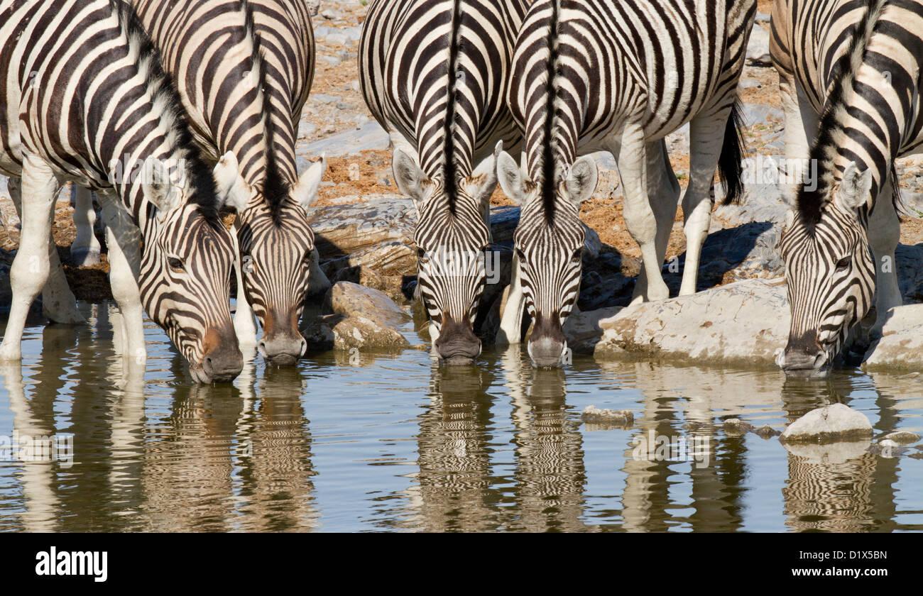Zebra drinking at waterhole in Etosha National Park, Namibia - Stock Image