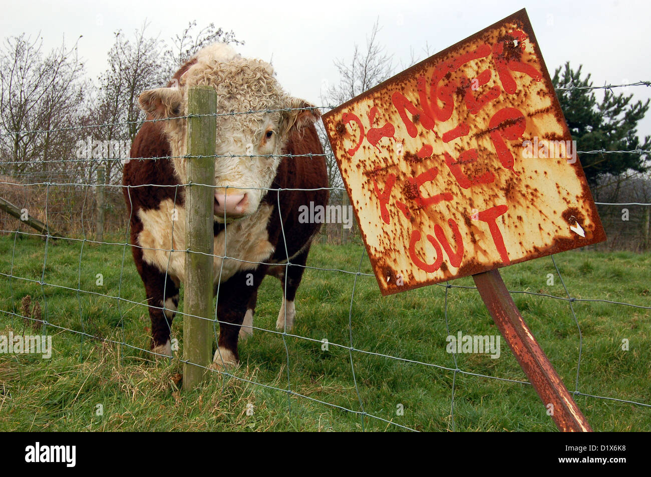 large bull on south staffordshire farmland seems to be attempting to hide behind a wooden fence stake. - Stock Image