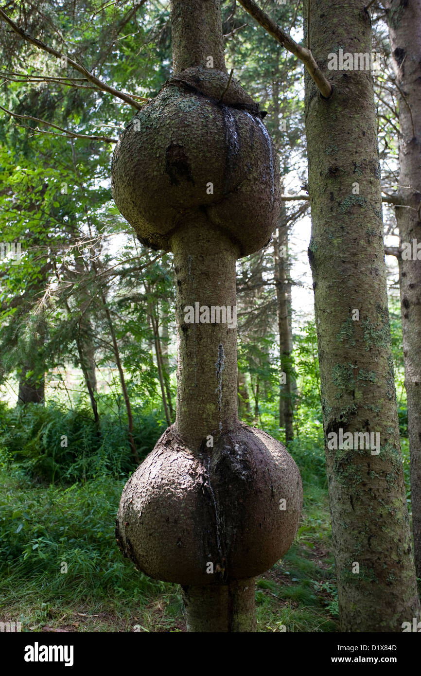 Strange round tumour like growths in a tree trunk wood Stock Photo
