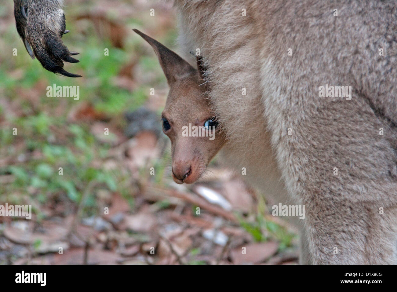 Close up of young joey - baby eastern grey kangaroo Macropus giganteus- with head and foot protruding from mother's - Stock Image