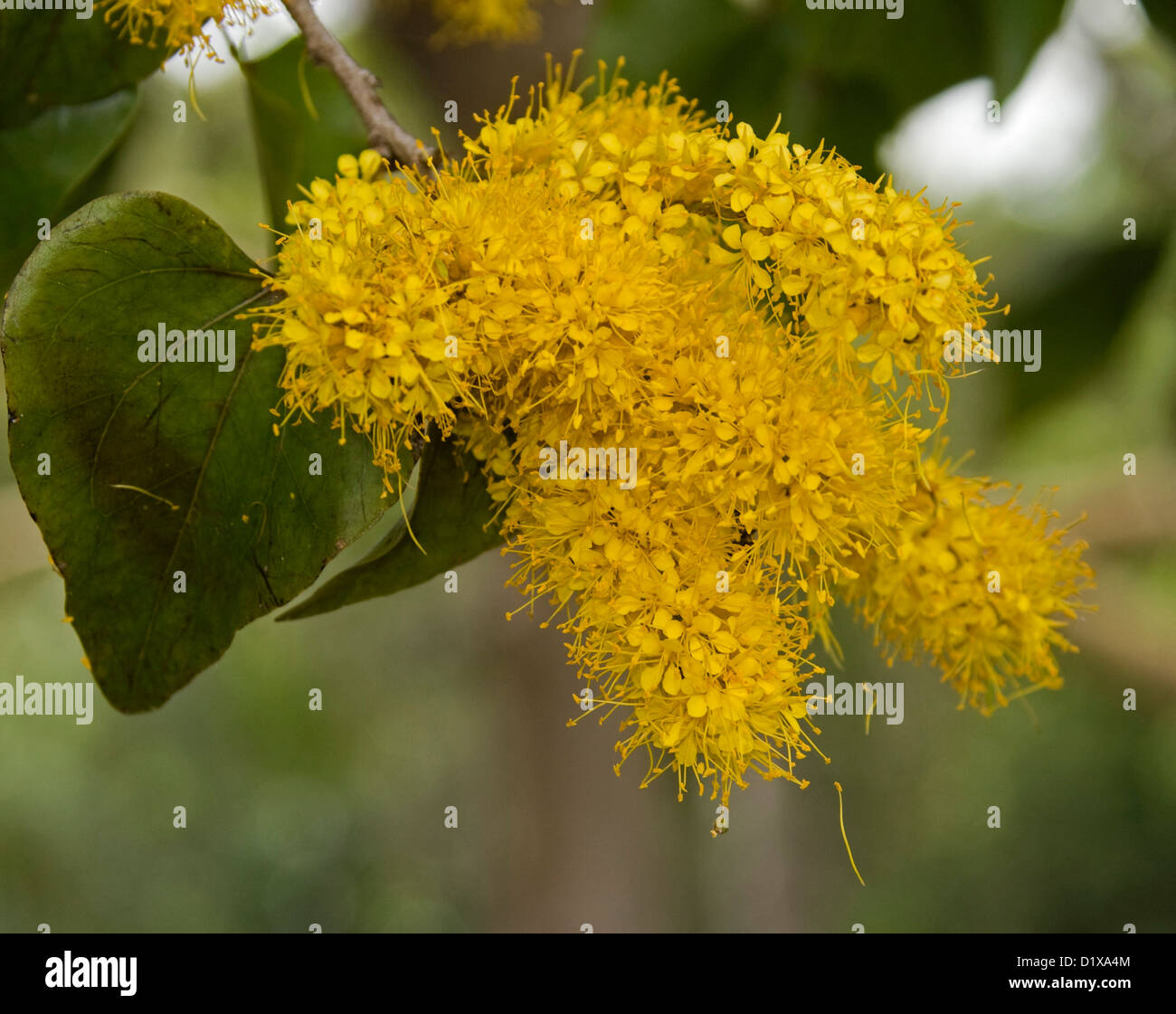 Cluster Of Golden Yellow Flowers Green Heart Shaped Leaves Of