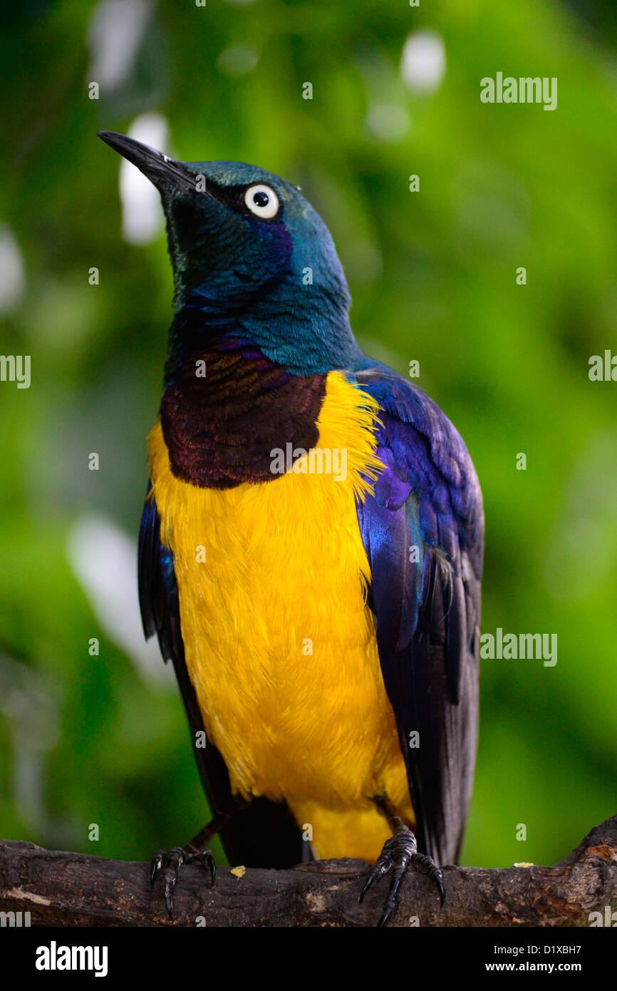 Splendid starling portrait in Birds of Eden, Garden Route, South Africa - Stock Image
