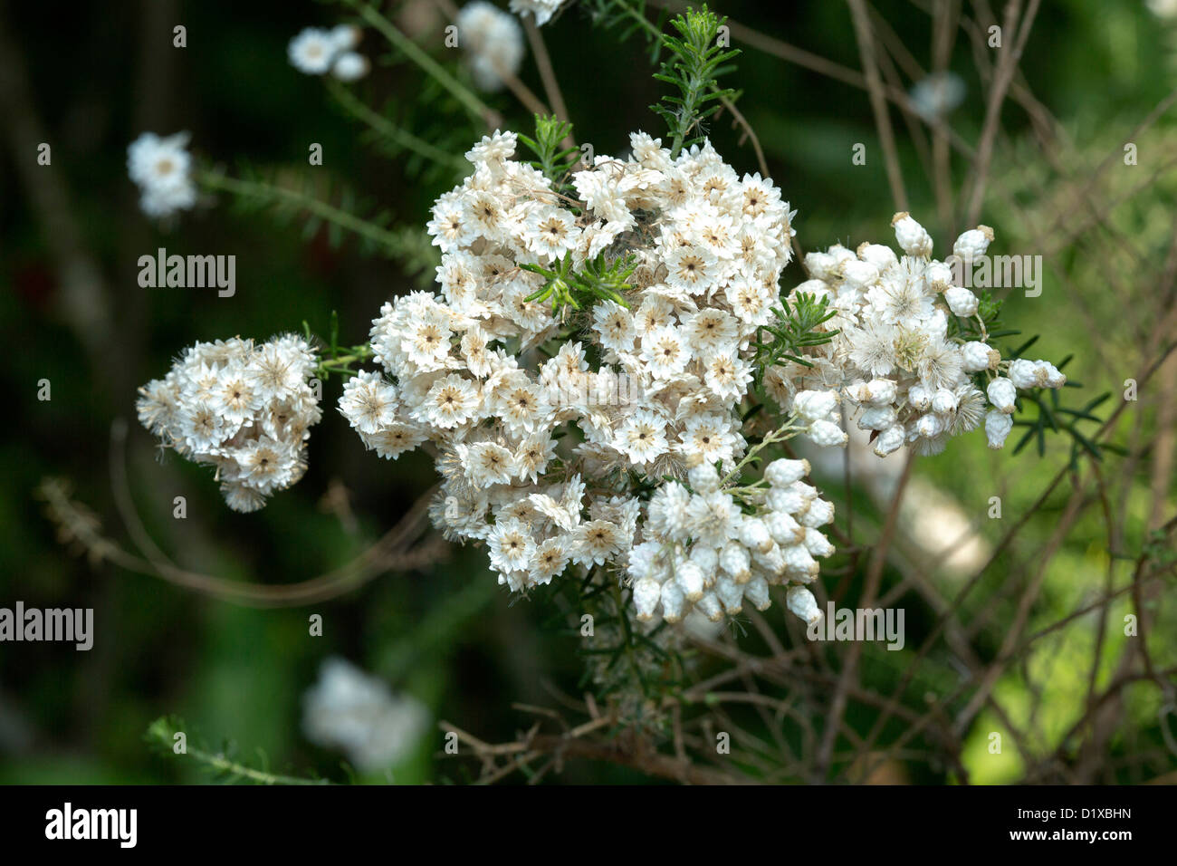 Cluster White Flowers Foliage Australian Stock Photos Cluster