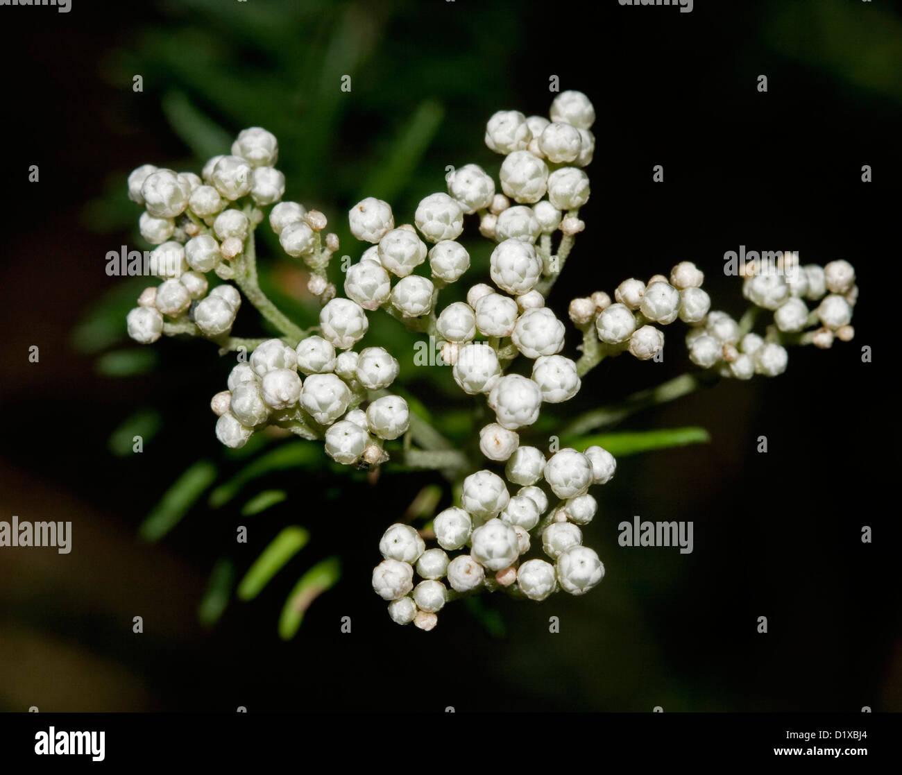 Australian flowers white background stock photos australian cluster of white flowers of ozothamnus diosmifolius riceflowers and foliage of australian native plant mightylinksfo