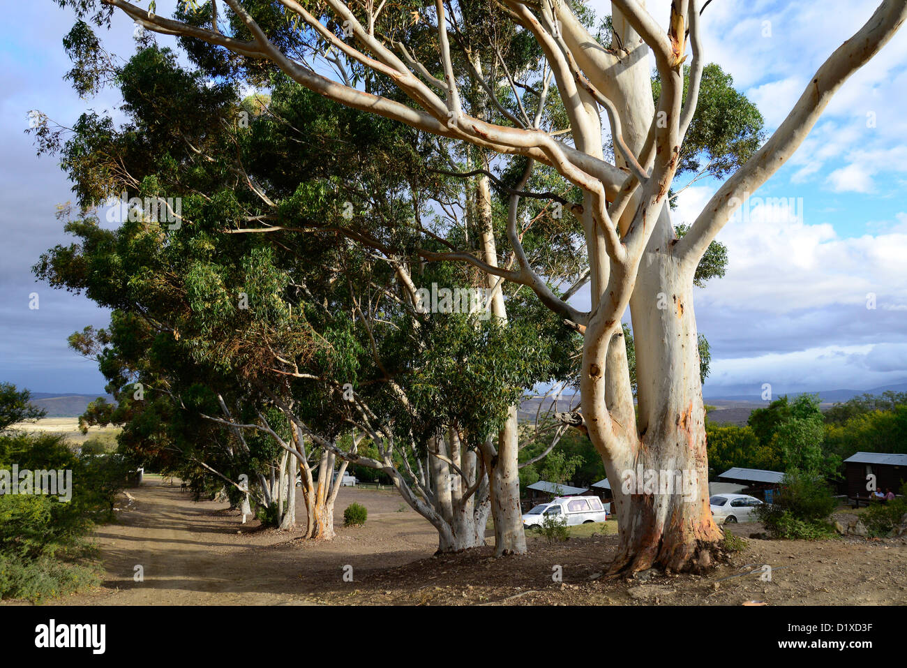 Eucalyptus trees and stormy sky at Warmwaterberg spa near Barrydale, Karoo, South Africa - Stock Image