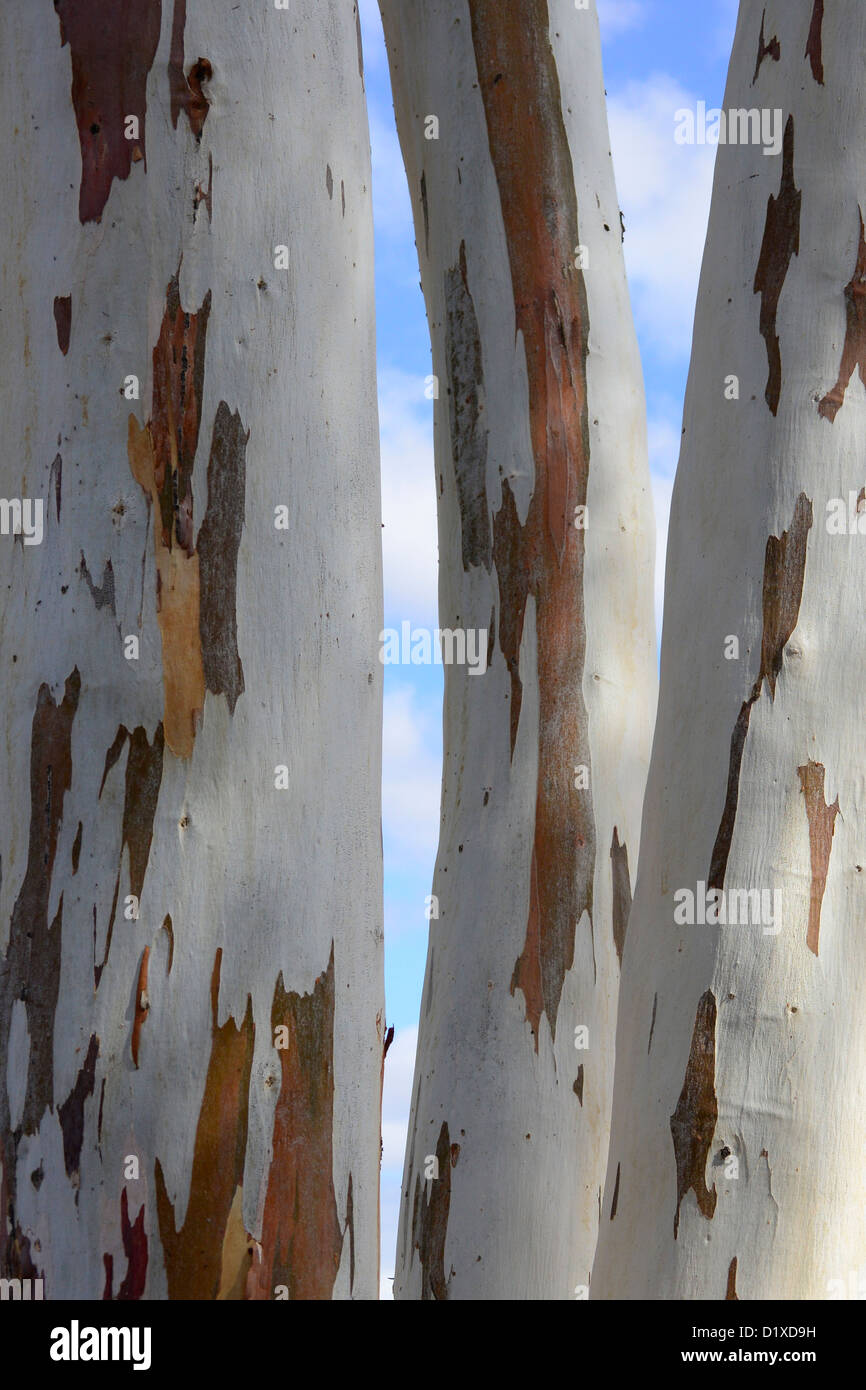 Eucalyptus tree trunks. White bark with brown patches. South Africa Stock Photo