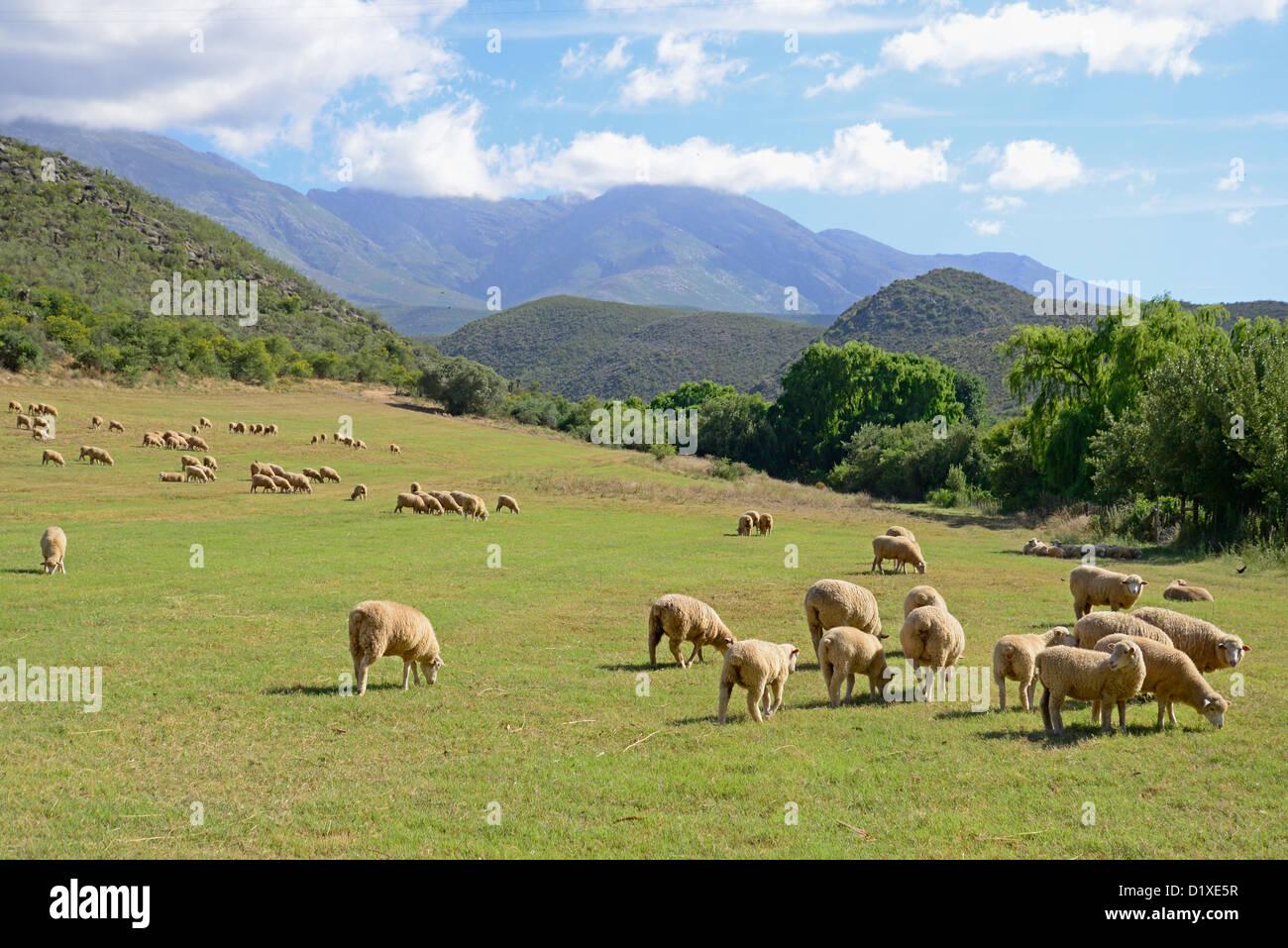 Merino sheep grazing in field below Swartberg mountains, Klein Karoo, South Africa - Stock Image