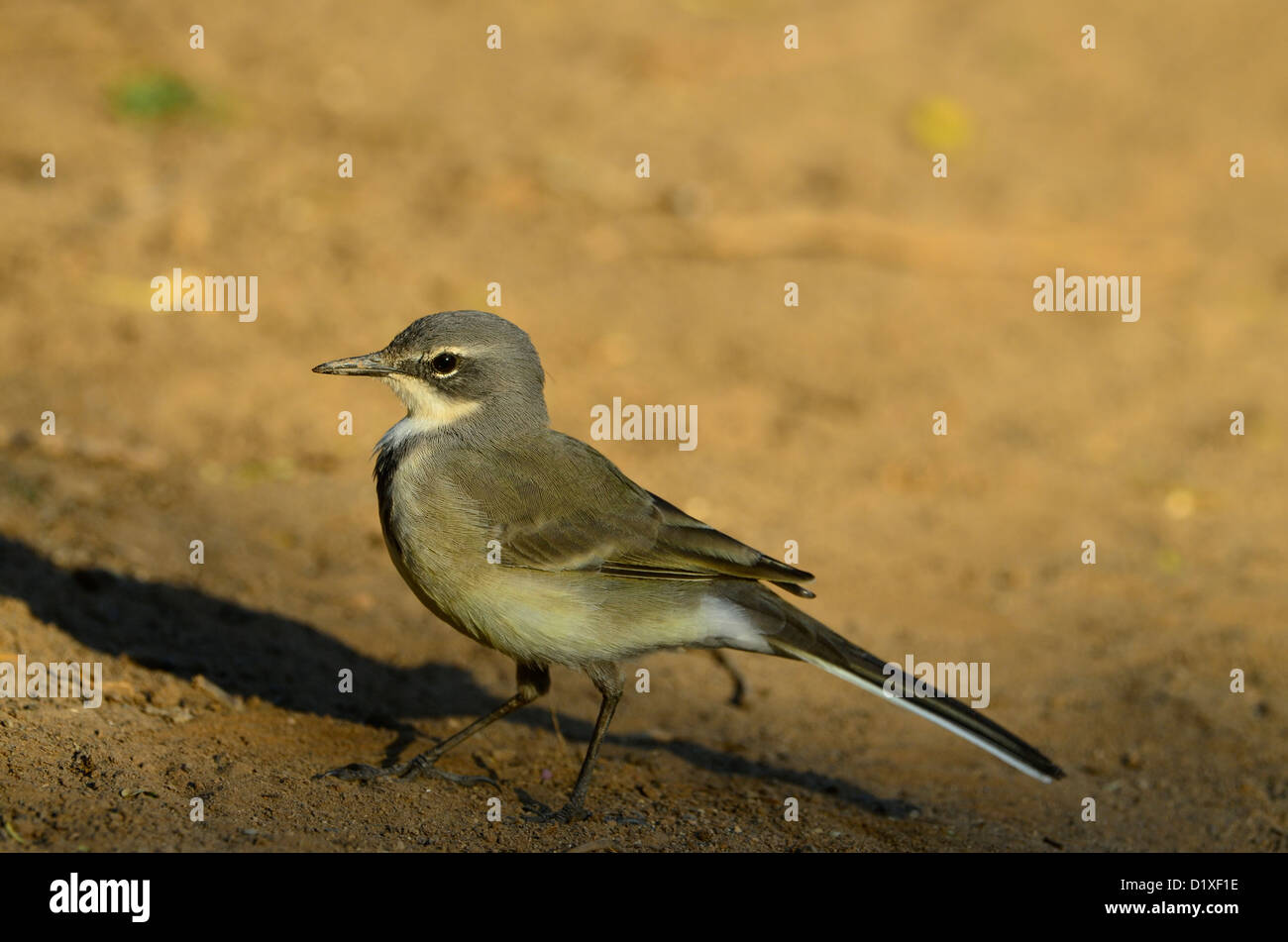 Cape wagtail, Karoo, South Africa - Stock Image