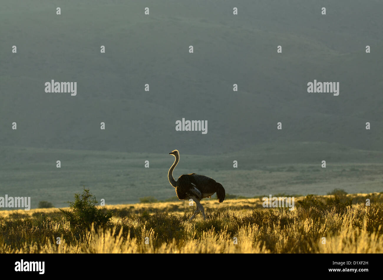 Male ostrich walking against backlighting in Karoo National Park, South Africa - Stock Image