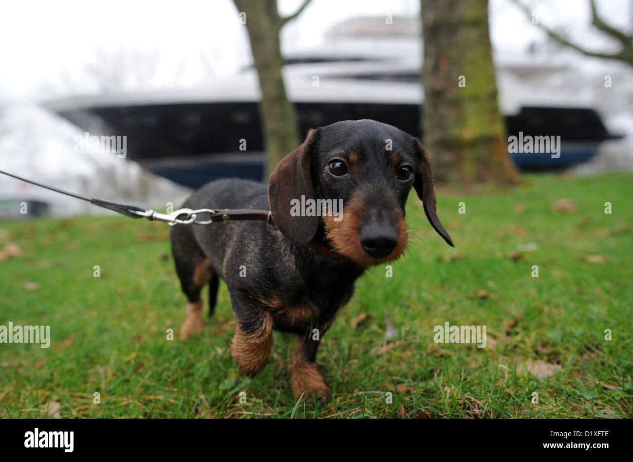 A wire-haired dachshund is photographed while a heavy-load transporter transports the British yacht Princess 98' - Stock Image