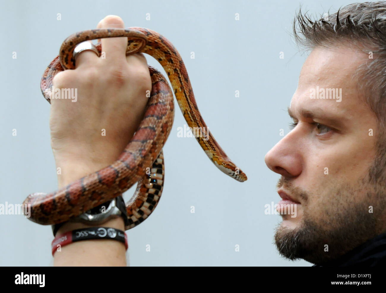 A Corn snake and biologist Volker Gruen face off as he is taking stock at the zoo in Duisburg, Germany, 07 January - Stock Image