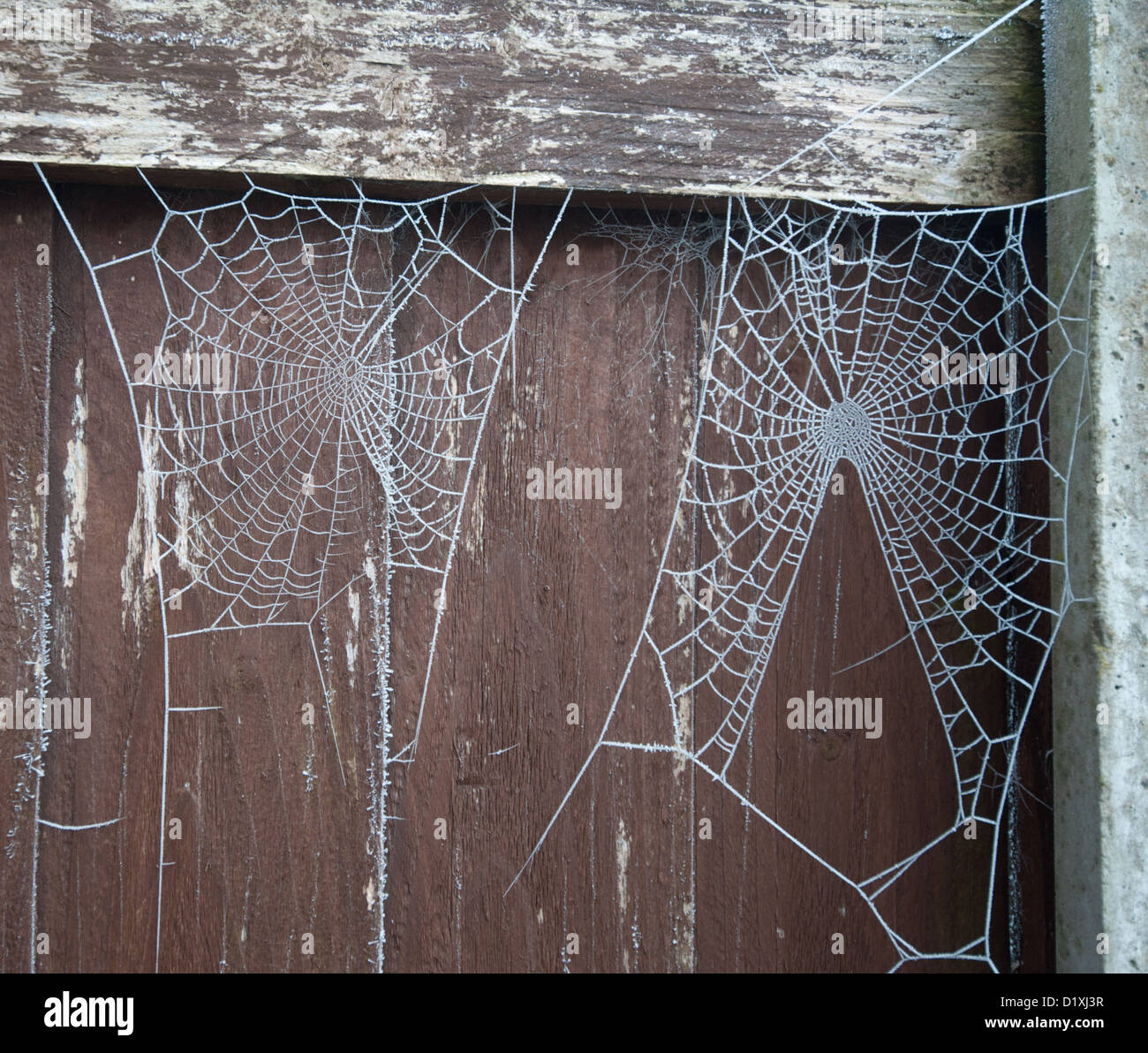 Frost-covered spiders' webs on a fence - Stock Image